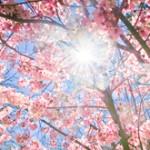 Fascinating-Cherry-Blossom-Photos