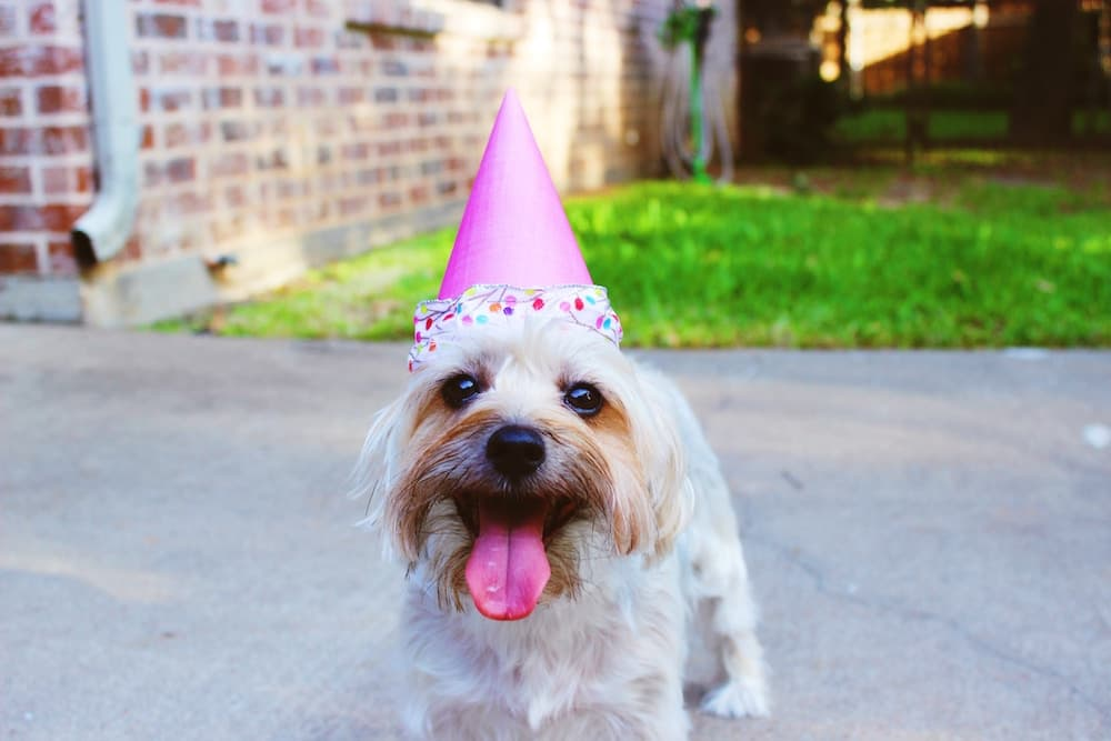 Cure dog wearing a cone shaped birthday hat