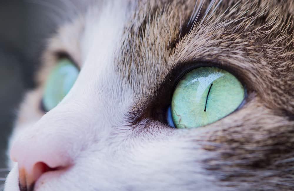 Green Cat Eyes Close up
