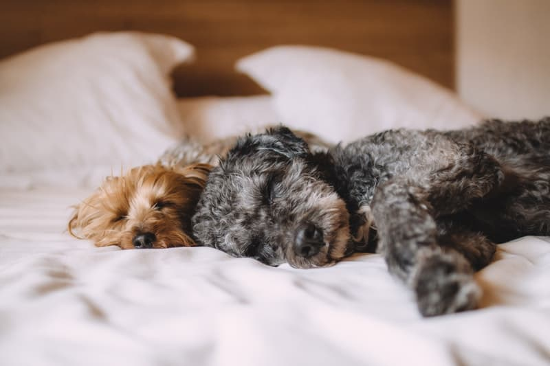 Two dogs sleeping on a comfortable bed