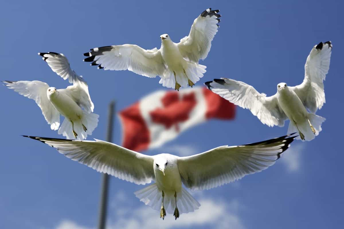 Canadian Flag with Seaguls