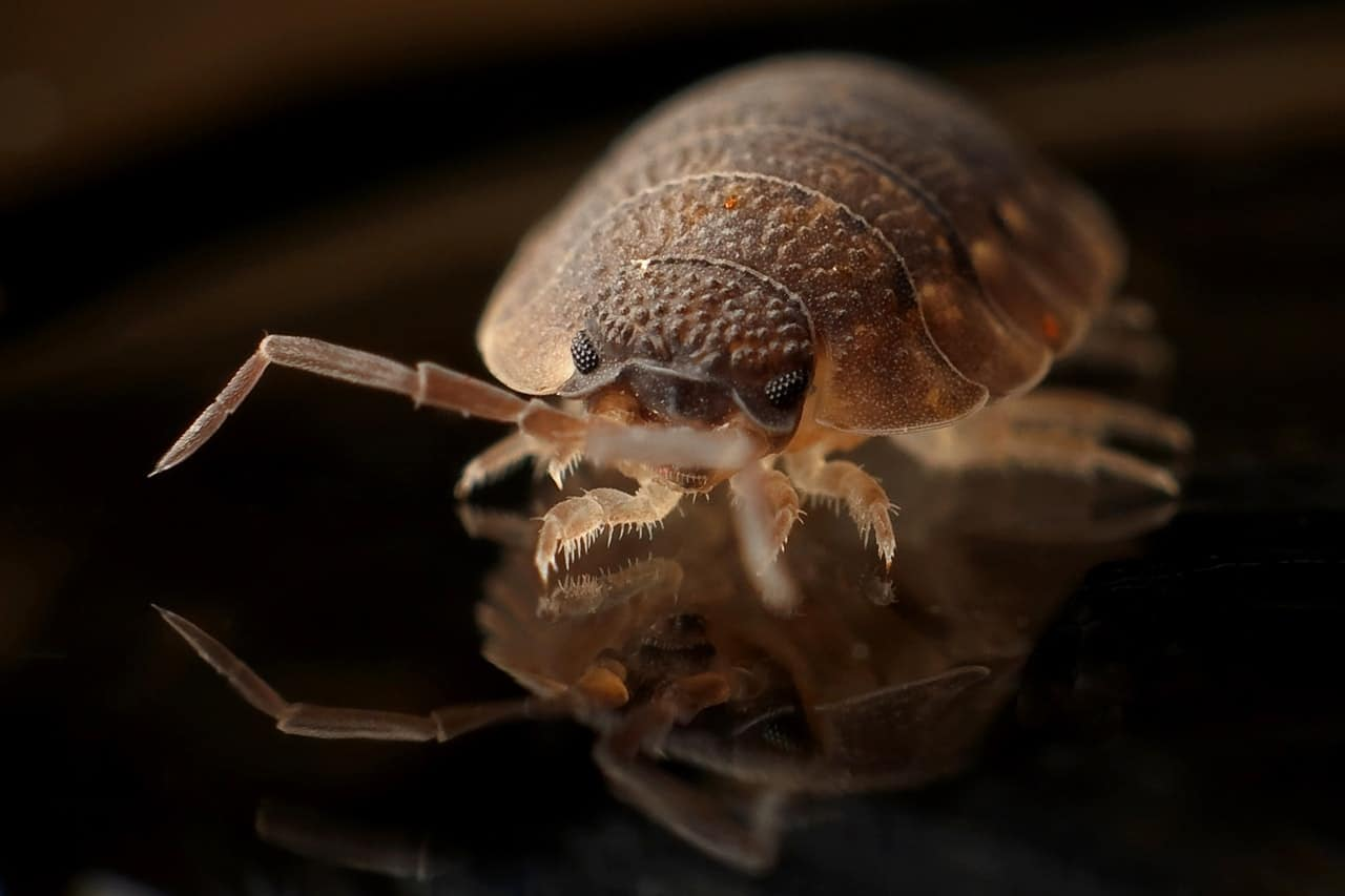 Bed Bug Close up