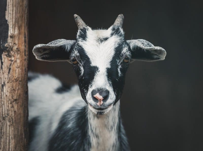 Black and white goat staring at you