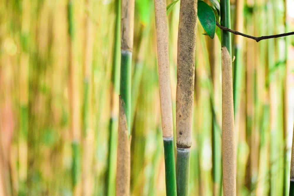 Close up of a bamboo forest