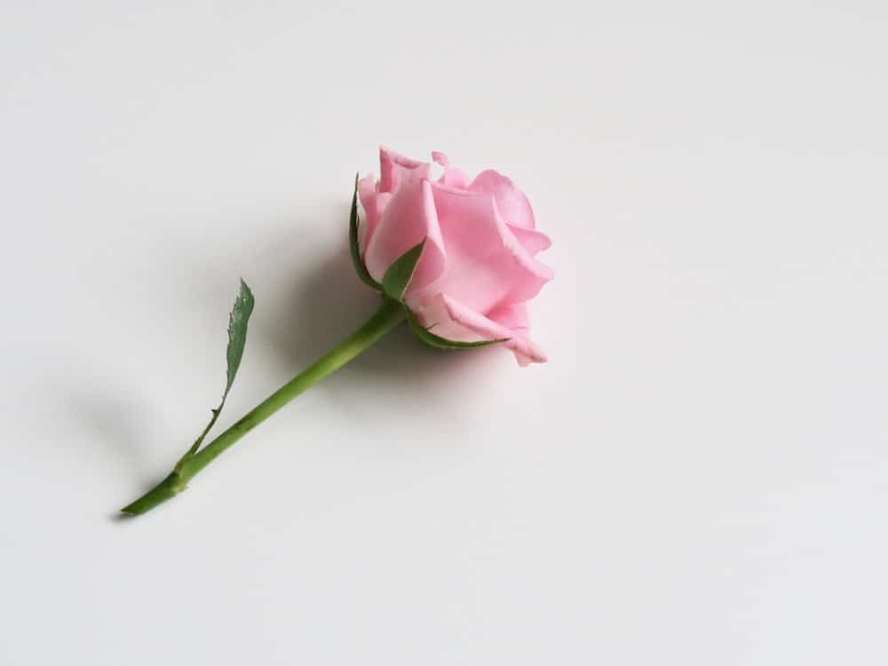 Beautiful pink rose laying on a white table