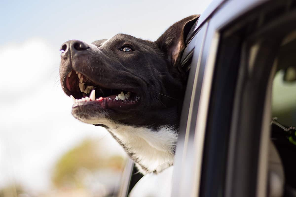 Happy Dog Looking Out of the Window Inside a Car