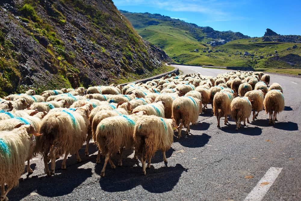 Sheeps walking on road.