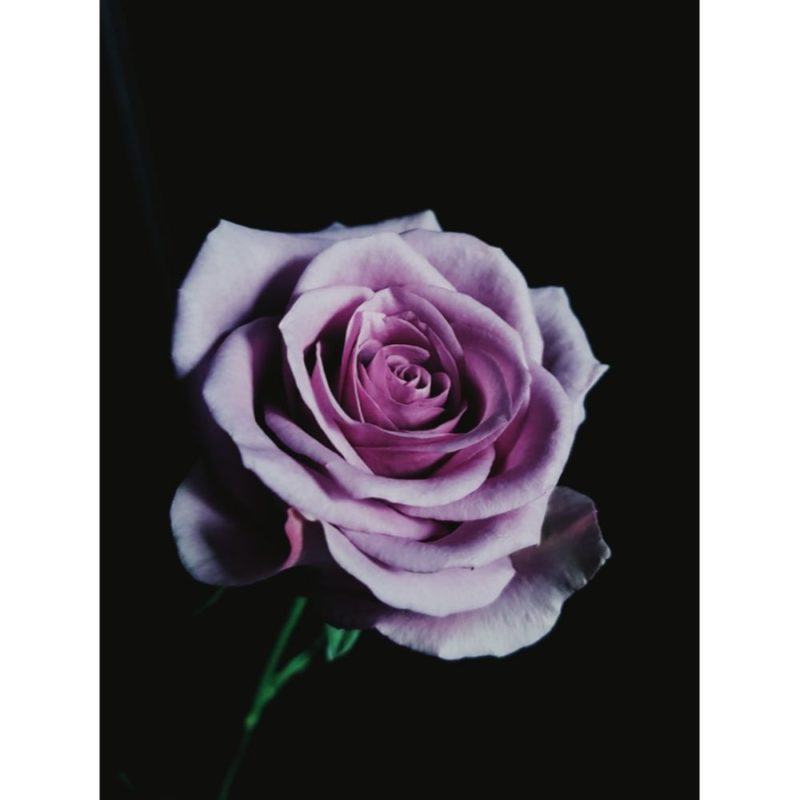 Rose Wallpapers