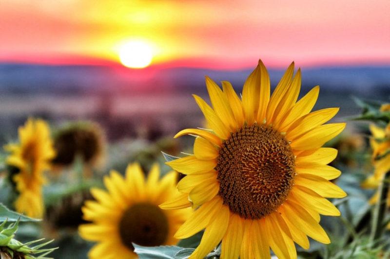 sunflower wallpapers